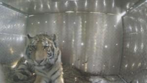 Un tigre relâché en Sibérie par Vladimir Poutine.