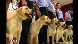 En Corée, des labradors clonés pour leur odorat