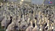Nouveaux foyers de grippe aviaire détectés : l'inquiétude des éleveurs
