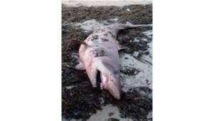Un requin féroce (Odontaspis ferox) échoué sur une plage du Morbihan en septembre 2013.