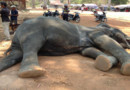 L'éléphante Sambo