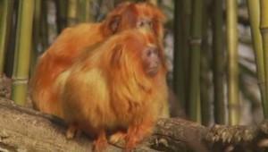 Deux familles de petits singes rarissimes, sept tamarins-lions dorés et dix ouistitis argentés, ont été volés le 9 mai dernier au zoo de Beauval dans le -Loir-et-Cher