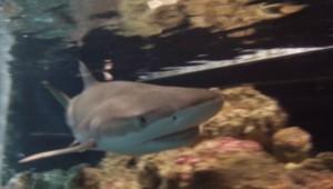 Un requin au musée océanographique de Monaco.