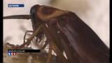 Après les déchets, Naples lutte contre des cafards géants - vidéo