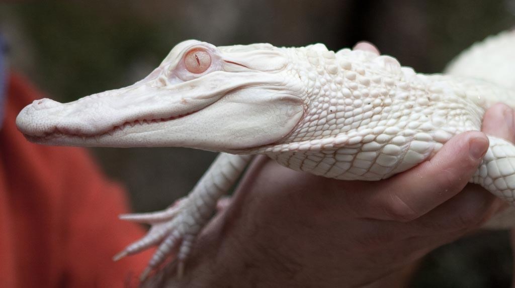 Présentation de Crocorible Alligators-albinos-ferme-aux-crocodiles-2010-4186546dmpko