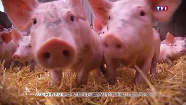 Crise agricole : des aides inefficases pour une filière porcine surendettée