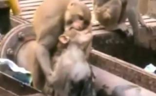 Un singe sauve un autre singe
