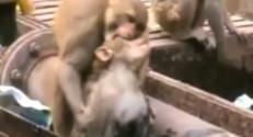 Un singe sauve un autre singe en Inde