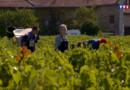 Le 20 heures du 28 août 2015 : Les vendanges ont déjà commencé sur certains domaines du Beaujolais - 1833