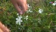 Premiers jours de récoltes pour le jasmin