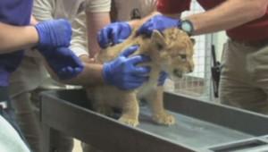 Zoo de Denver : un lionceau se démène, il va vous faire fondre (24/10)