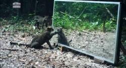 Ces animaux sauvages se découvrent dans un miroir, images géniales !
