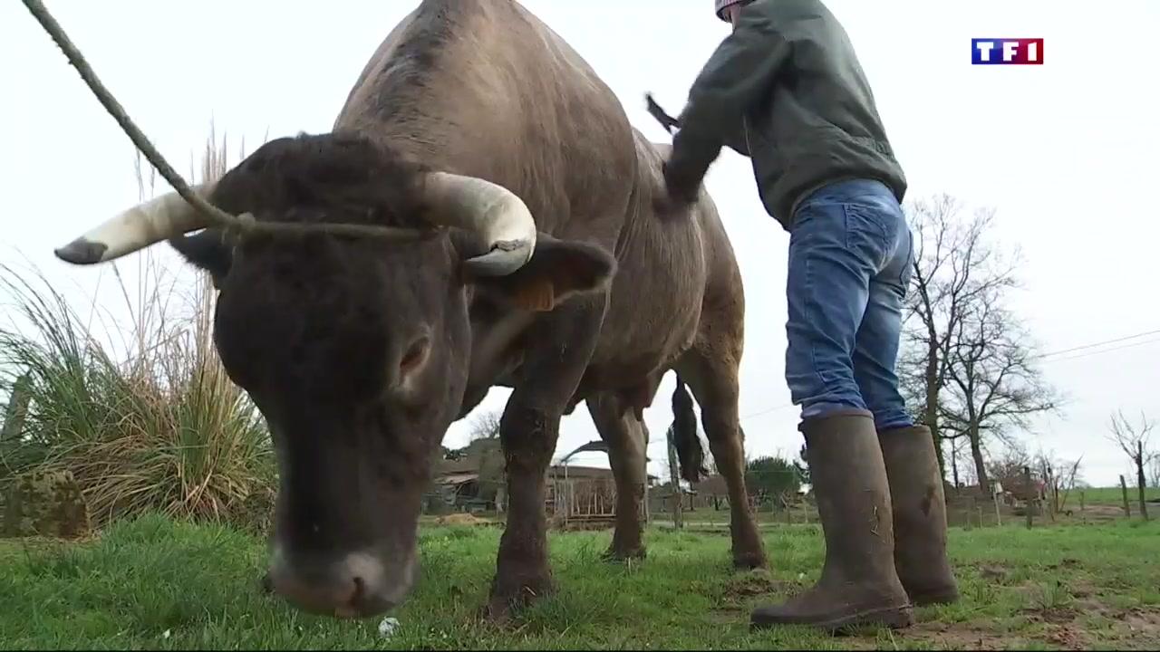 Cerise la vache star du prochain salon de l 39 agriculture lci for Vache salon de l agriculture