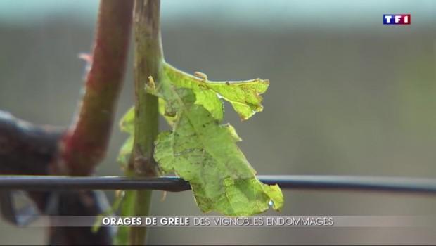 Averses de grêle : les récoltes du vignoble du Cognac et du Chablis compromises