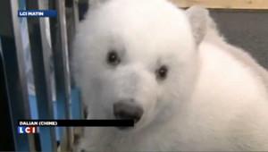 La Chine fière de présenter ses jumeaux ours polaires