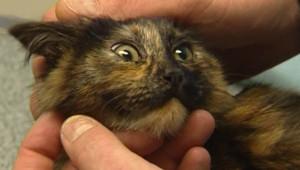 Un chat semblable à celui qui a été contaminé par la rage en Vendée (25 novembre 2007)