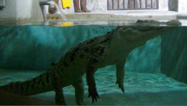 Eleanore, crocodile retrouvé dans les égouts de Paris en 1984.