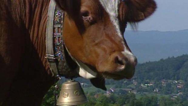 Vaches : les cloches de la discorde