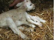 : Naissance d'un agneau à six pattes en Belgique
