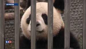 Les pandas chinois prêts pour leur voyage en France