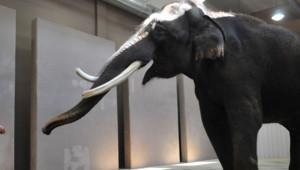 Koshik, éléphant coréen, a appris à imiter le langage humain, selon des chercheurs