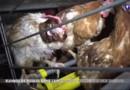 Vidéo choc dans un élevage de poules : le préfet ordonne un vide sanitaire