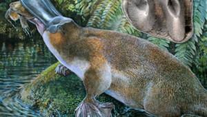 Reproduction d'un ornithorynque vieux de 5 à 15 millions d'années