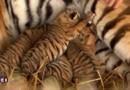 Naissance de quatre bébés tigres, un heureux événement au cirque Arlette Gruss