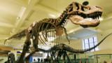 Le tyrannosaure, toujours plus énorme !