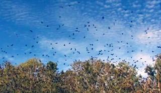 Elles sont arrivées par dizaines de milliers: invasion de chauves-souris dans une ville australienne