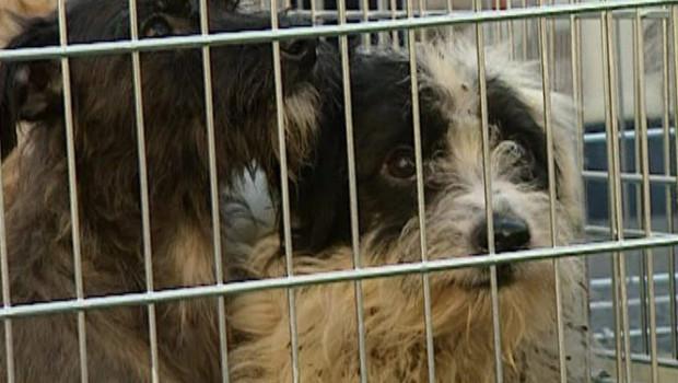 SOS pour 50 chiens de la SPA  de tarbes - 24 chiens DCD / 37 lors du transport organisé par la SPA NATIONALE - Page 2 Chiens-maltraitance-spa-2353605_1713