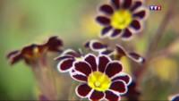 La primevère, la petite fleur fragile revit en Bretagne