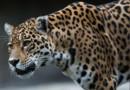 jaguar félin espèce menacée en voie de disparition