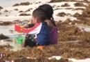 Pollution aux Sargasses : pas de rivages de cartes postales à Cancún cet été