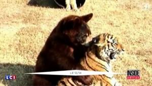 Un lion, un tigre et un ours sont amis depuis 15 ans