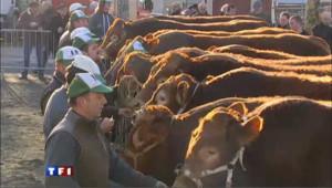 Salon de l'agriculture : le casting des vaches limousines