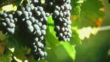 Les Côtes-du-Marmandais, le cœur des vins du Sud-Ouest