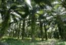 La tonne d'huile de palme devait être taxée 900 euros en 2020. Ce sera finalement dix fois moins.