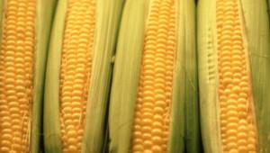 Des épis de maïs.