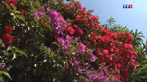 le bougainvillier une fleur synonyme de soleil et de vacances lci. Black Bedroom Furniture Sets. Home Design Ideas