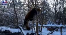Deux pandas roux s'amusent comme des petits fous dans la neige
