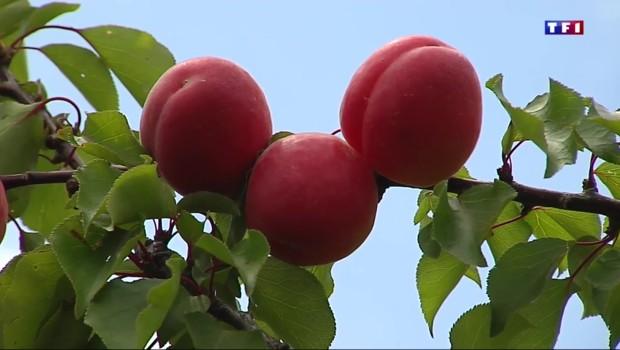Les premiers abricots de la saison arrivent sur les marchés