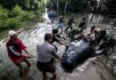 Baleines-pilotes échouées en Indonésie, sur une plage de Java le 15/06/2016