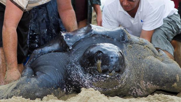 Une tortue géante de 320 kg et 2 mètres de long a été retrouvée le 6 août 2012 sur une plage de Salin-de-Giraud dans les Bouches-du-Rhône.