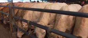 Crise des éleveurs : les prix continuent de baisser au marché bestial de Cholet