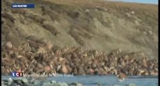 Une marée de morses échoués en Alaska