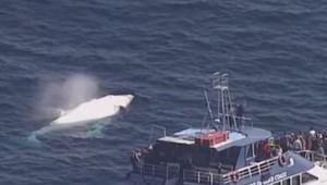 Une baleine blanche rare filmée aux larges des côtes australiennes.