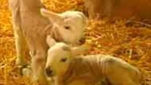 moutons bébé fièvre aphteuse