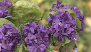 Le 13 heures du 21 janvier 2015 : En Provence, la récolte des violettes a débuté - 2050.373320983887