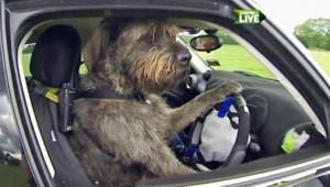 En Nouvelle-Zélande, les chiens conduisent des voitures !